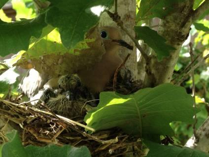 dove's nest, English Street backyard, Houston, Texas