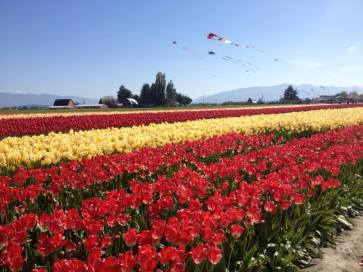 Skagit Valley Tulip Festival, Skagit County, Washington