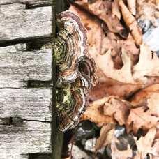 turkey feather (?) fungus, Buckhannon river walk - photo by Abby