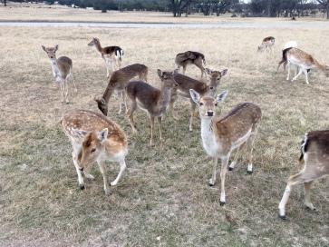 Fallow deer (female)