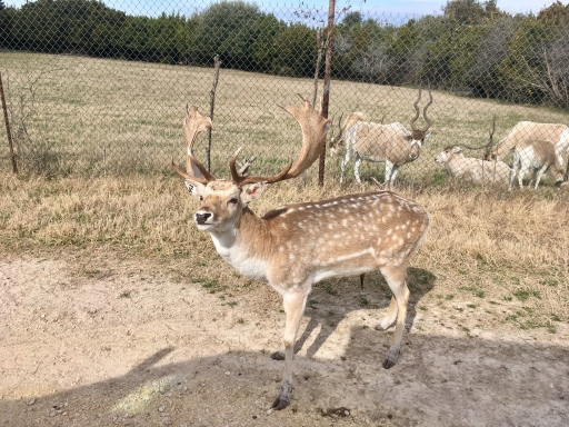 foreground: Fallow deer (male); background: Addax