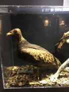 taxidermied turkey vulture, late 1800s, for Katie