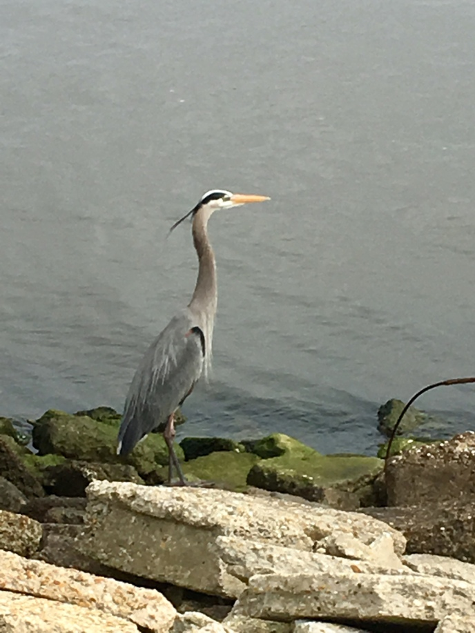 easily the largest great blue heron I've seen, like four feet tall