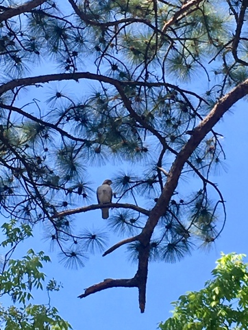 red-tailed overhead
