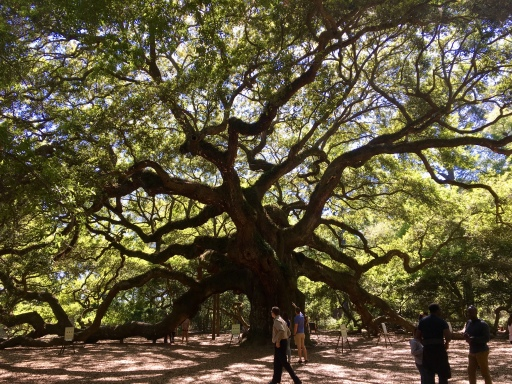 Charleston's Angel Oak