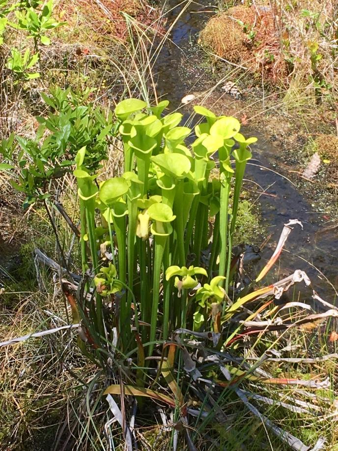 yellow pitcherplant