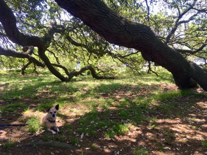 Hops under the Emancipation Oak