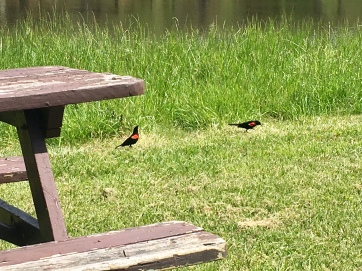 red-winged blackbirds in Rehoboth Beach