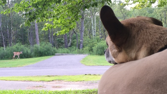 Hops tolerates deer (not pictured: Hops does not tolerate whistlepigs)