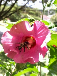 rose of Sharon on my front porch, with bee